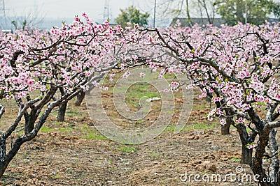 Floresta do pêssego