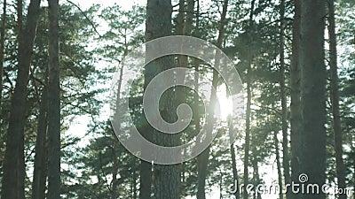 Floresta do pinho, por do sol em um dia de mola video estoque