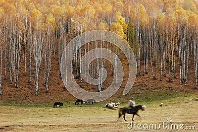 Floresta e pastor do vidoeiro