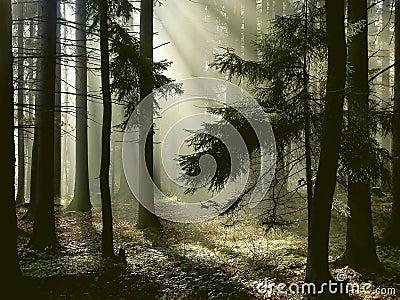 Floresta enevoada com raias do sol do amanhecer