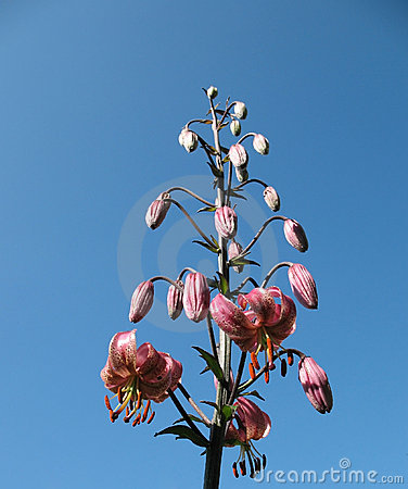 Florid lily (Lilium martagon), the family Liliacea