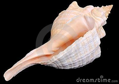 Florida horse conch seashell