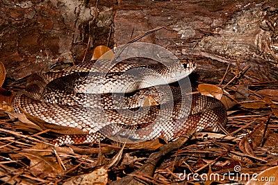 Florida Pine Snake
