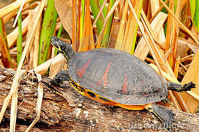Florida Red-bellied Cooter Turtle