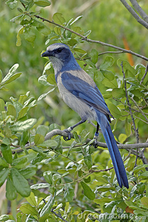 Free Florida Scrub Jay Royalty Free Stock Photos - 1680248