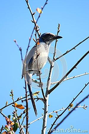 Free Florida Scrub Jay (Aphelocoma Coerulescens) Stock Photography - 21575542