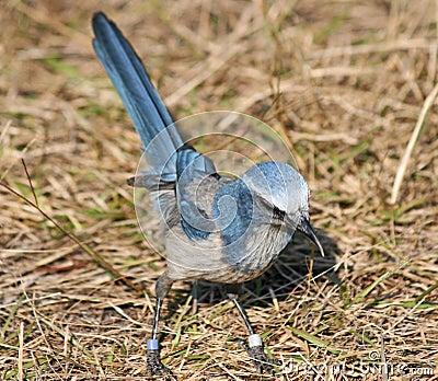 Florida Scrub Jay bird