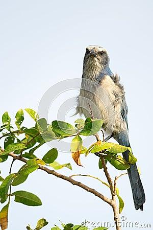 Florida Scrub-Jay Staring