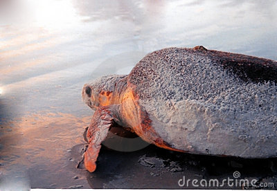Florida Sea Turtle at Sunrise