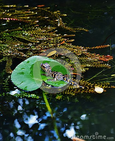 Free Florida Usa  Gator Park September Baby Alligator Royalty Free Stock Images - 80457629