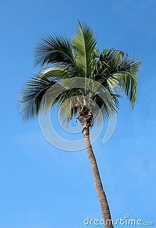 Floride Palm