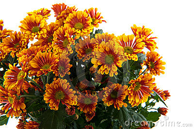 Florists daisy