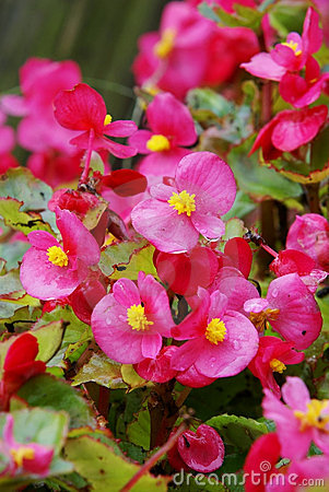 Florists flowering begonia flower