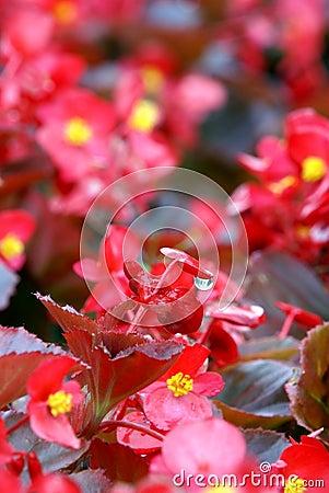 Florists flowering begonia flower with water drop