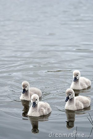 Flotilla of four black swan cygnets