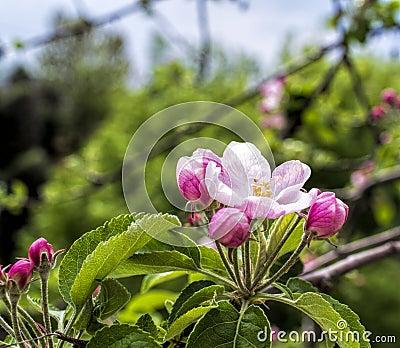 Flower of apple