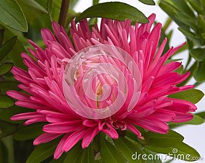 Flower of an aster
