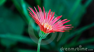 Flower of Aster
