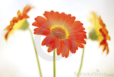 Flower background. Gerbera.