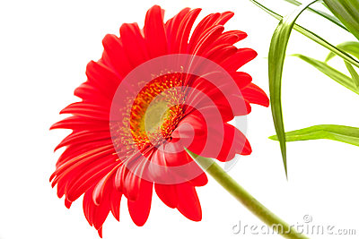 Flower Background. Red Gerbera Flower