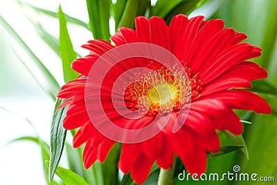 Flower Background. Red Gerbera Flower