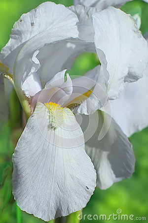 Flower of bearded iris closeup