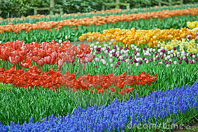 Flower-bed Full Of Color Beauty Tulips Stock Images - Image: 9896194