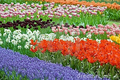 Flower-bed full of color beauty tulips