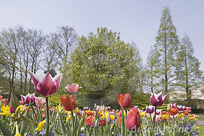 Flower bed of multicolored tulips in park