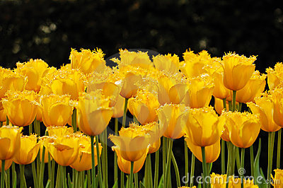 Flower-bed of unusual yellow tulips