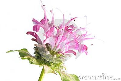 Flower of bee balm