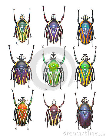 Free Flower Beetles In White Background Stock Photo - 37533710