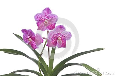 Flower of blooming orchid