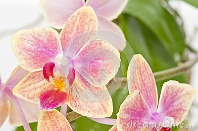 Flower of blooming  phalaenopsis orchid