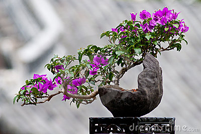 Flower of a bougainvillea