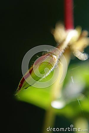 Flower Bud.
