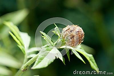 Flower bud of the Whitewash Cornflower