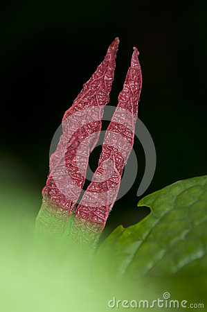 Flower buds of tropical plant