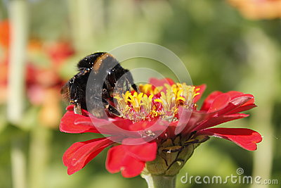 Flower with bumblebee