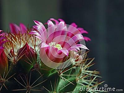 Flower of a cactus of sort Mammillaria.