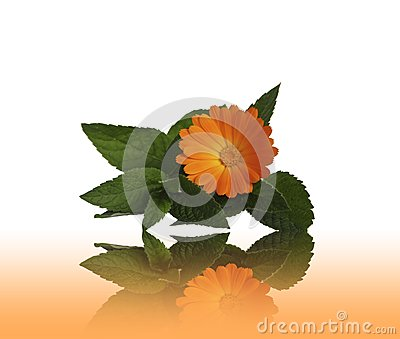 Flower calendulas and mint with a reflection
