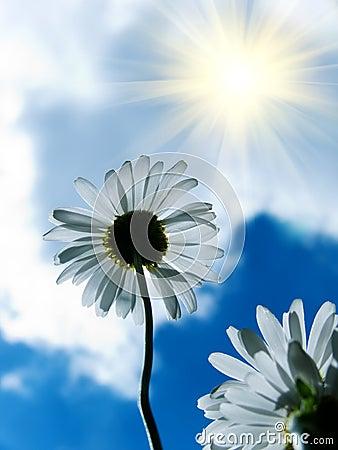 Flower a camomile against the sky