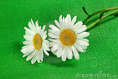 Flower camomiles