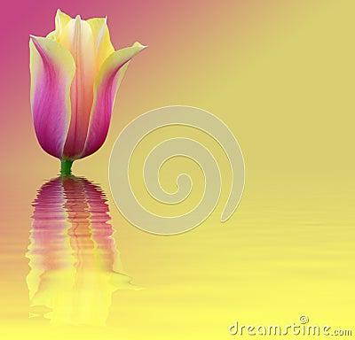 Background flower tulip index of