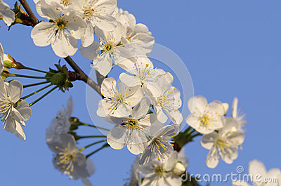 Flower of cherry