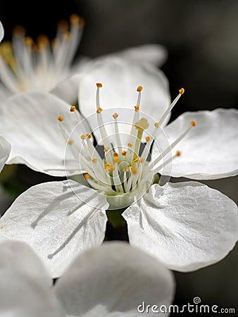 Flower of the cherry-tree