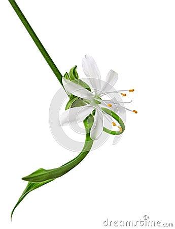 Flower close-up, Chlorophytum