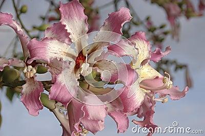 Flower cluster on silk floss tree
