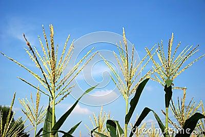Flower of the corn