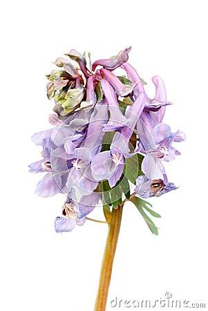 Free Flower Corydalis Halleri . Stock Photo - 25072760